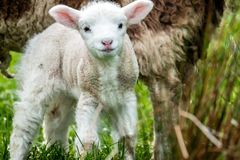 Cute little lambs grazing in a field in Ireland.  stock images