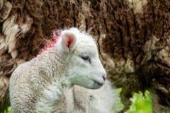 Cute little lambs grazing in a field in Ireland.  royalty free stock photo