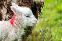 Cute little lambs grazing in a field in Ireland.  royalty free stock image