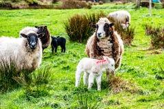 Cute little lambs grazing in a field in Ireland.  royalty free stock photos