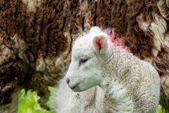 Cute little lambs grazing in a field in Ireland.  stock photography