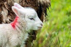 Cute little lambs grazing in a field in Ireland.  stock photos