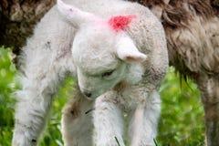 Cute little lambs grazing in a field in Ireland.  stock image