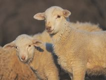 Cute little lambs looking at the camera during sunset warm light.  royalty free stock photos