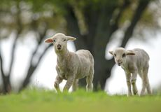 Cute and little lambs on meadow. In spring time stock photo
