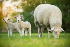 Cute little lambs with sheep on fresh green meadow. During sunrise royalty free stock image