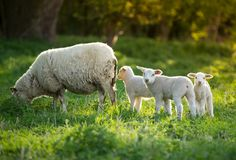 Cute little lambs with sheep on fresh green meadow. During sunrise royalty free stock images