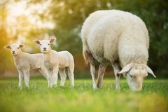 Cute little lambs with sheep on fresh green meadow. During sunrise stock image