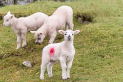 Cute little lambs in spring. A cute little lamb is standing in a field on a hillside during springtime. Two other lambs are in the background stock image
