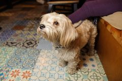Cute little light brown dog sitting near his owner. And looking up on the background of couch and tile floor Royalty Free Stock Photos
