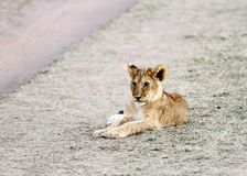 Cute little lion cub Stock Photography