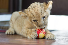 Cute little lion cub biting a ball Royalty Free Stock Photos