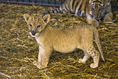 Cute little lion cub. Royalty Free Stock Image