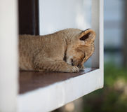 Cute little lion cub sleeping outdoors Royalty Free Stock Photo
