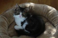 Cute little long hair kitten stock images