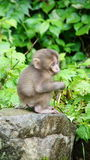 Cute little macaque in Jigokudani snow monkey park Stock Photo
