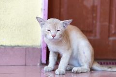 A cute little male cat waiting and sitting in front of the door. A cute little male cat waiting and sitting in front of the door with grumpy face. Selective Royalty Free Stock Photos