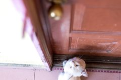 A cute little male cat waiting and sitting in front of the door with grumpy face. Top view. Selective focus Stock Photo