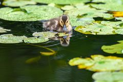 A cute little Mallard duckling Anas platyrhynchos is swimming on a lake that covered by lotus leaves. In British Columbia, Canada stock photos