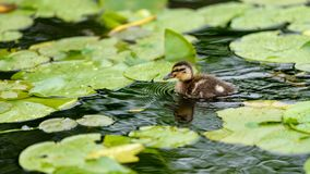 A cute little Mallard duckling Anas platyrhynchos is swimming on a lake that covered by lotus leaves. In British Columbia, Canada stock images