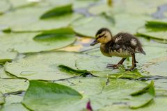 A cute little Mallard duckling Anas platyrhynchos is walking or running on the lotus leaves on the pond. In British Columbia, Canada royalty free stock image