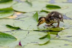 A cute little Mallard duckling Anas platyrhynchos is walking or running on the lotus leaves on the pond. In British Columbia, Canada stock photos