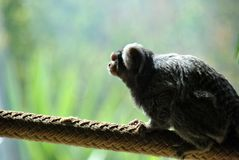 Cute little marmoset monkey looking out at the world stock images