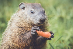 Cute little Marmot with mouth closed with carrot royalty free stock images
