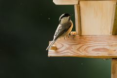 Cute little Marsh tit bird with black nape, crown perching on wo Royalty Free Stock Photos