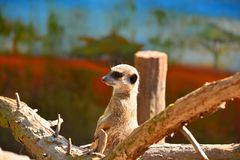 Cute little meerkat standing on wood at the zoo stock image