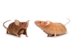 Cute little mice royalty free stock images