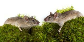 Cute little mice stock photos