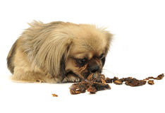 Cute little mixed breed dog eating dried meat in a white studio fl. Cute little mixed breed dog eating dried meat in white studio flooor stock image