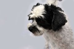 Cute little moggy dog with big astonished eyes. Portrait of a mixed-breed dog between shih tzu and maltese dog  with big astonished eyes Royalty Free Stock Images