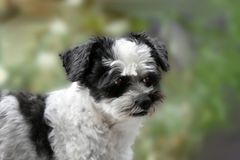 Cute little mongrel dog with big eyes. Mixed-breed dog between shih tzu and maltese dog observing something  in the garden Royalty Free Stock Photo