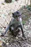 Cute little monkey behind fence. Cute and playful little grey and white monkey behind fence Royalty Free Stock Photo