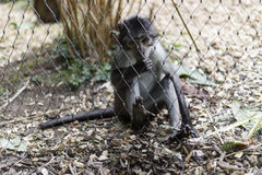 Cute little monkey behind fence. Cute and playful little grey and white monkey behind fence Royalty Free Stock Image