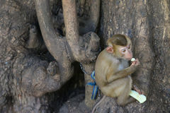 Cute little monkey being chained to tree holding nibbling fresh Stock Photos