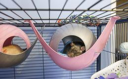 Cute little baby rats sleeping in their beds. Cute little 4 month old black and white baby rats sleeping in their beds in a cage Stock Images