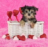Cute little Morkie Puppy Stock Photo