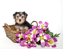 Cute Little Morkie Puppy Stock Photo
