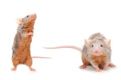Cute little mouse Royalty Free Stock Photography
