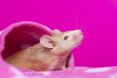 Cute little mouse Royalty Free Stock Photo