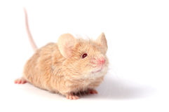 Cute little mouse Royalty Free Stock Images