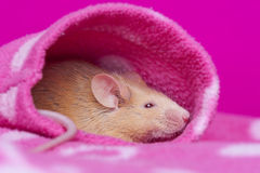 Cute little mouse resting in a sleeve Stock Photos