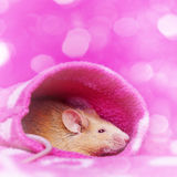 Cute little mouse resting in a sleeve Stock Photography