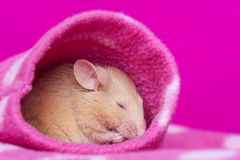Cute little mouse sleeping Royalty Free Stock Photo