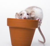 Cute little mouse Royalty Free Stock Photos