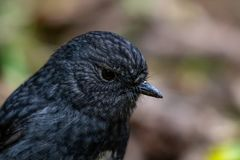 North Island Robin, NZ. Cute little new zealand robin, friendly native forest bird that will follow hikers looking for insects to eat that are kicked up by stock photography