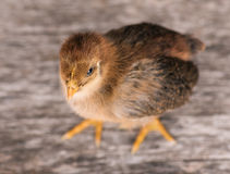 Cute little newborn chicken Stock Image